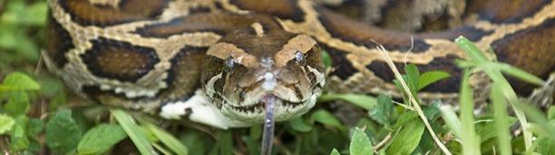 09/15/09 burmese python snake reptile