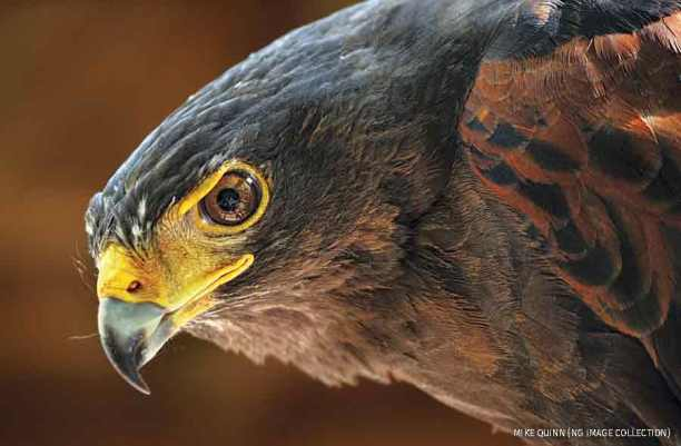 NOW-Harris-hawk-FM19-900x591.jpg